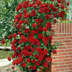 Ruža Penjačica Don Žuan