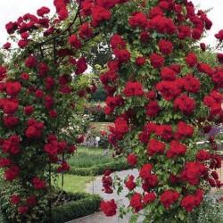 Ruža Erik Tabarli