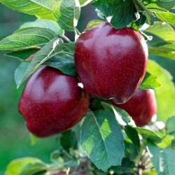 Jabuka Crveni Delišeš