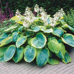 Hosta Viliams