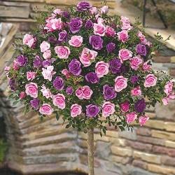 Ruža Stablašica Pinakolada