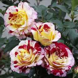 Ruža Pisaro