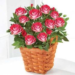 Ruža Mini Devojačka