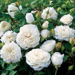 Ruža Za Sok I Slatko Bela