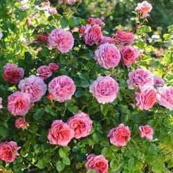 Ruža za sok i slatko Roze