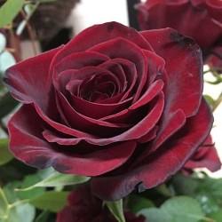 Ruža Čajevka Norita