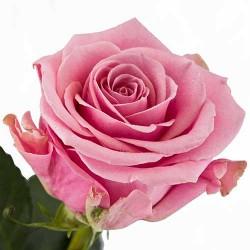 Ruža Čajevka Kiano