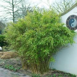 Bambus Kembel