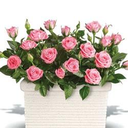 Ruža Bejbi Roze