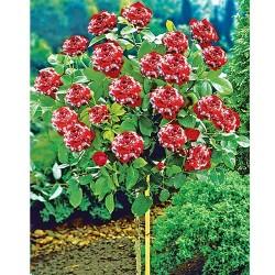 Ruža Stablašica Hulio