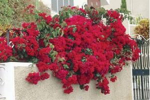 Bugenvilija i cvetni raskoš leta