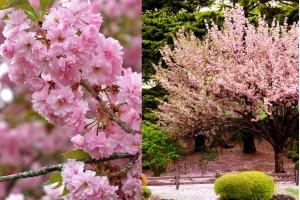 Japanska trešnja: najlepši događaj u vreme cvetanja