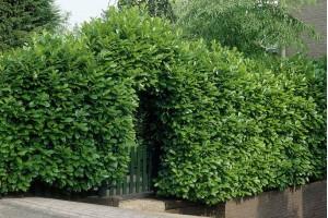 Ako vam treba gusta, zelena ograda, preporučujemo