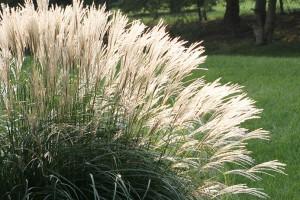 Zašto vam ne uspeva pampas trava?