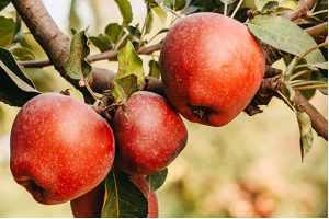I za početnike - sadite voće kad mu je vreme