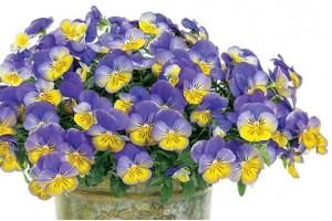Detaljna uputstva kako da odgajite bujne viole