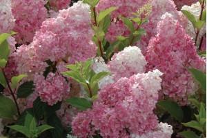 Šta da radite da vam hortenzije cvetaju u pravoj boji?