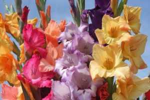 Zato vam gladiole kasnije cvetaju