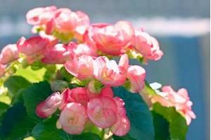 Mnogi baštovani greše kada sade letnje lukovice