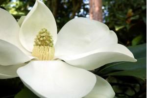 Magnolija džinovskih cvetova i još zimzelena