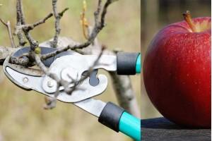 Vreme je da se voće đubri, orezuje i štiti: evo kako