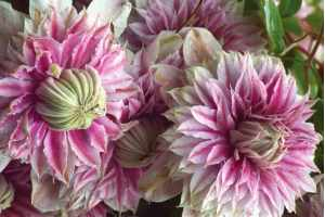 Šta traže klematisi za bujno cvetanje?