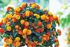 Cveće za osunčane terase: Počnite od lantane
