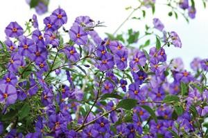 Solanum voli redovno orezivanje