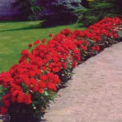 Ruža Paganini