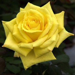 Ruža Čajevka Nikolas