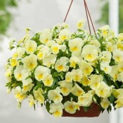 Sezonske cvetnice