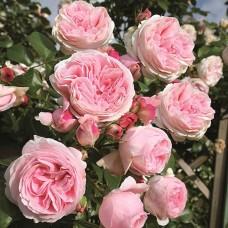 Ruža Penjačica Đardina