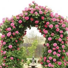 Ruža Penjačica Gloriana