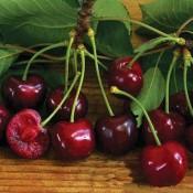 Sadnice trešnje i višnje